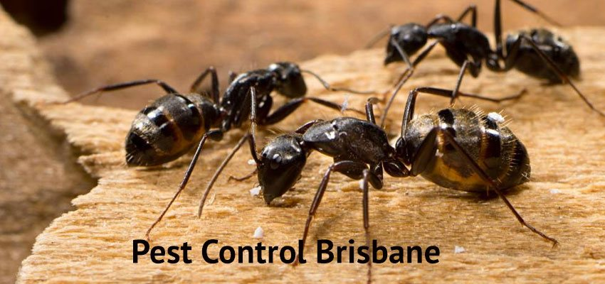 Pest Control The Bluff